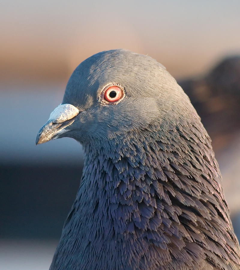 Открытки, прикольная картинка с голубем