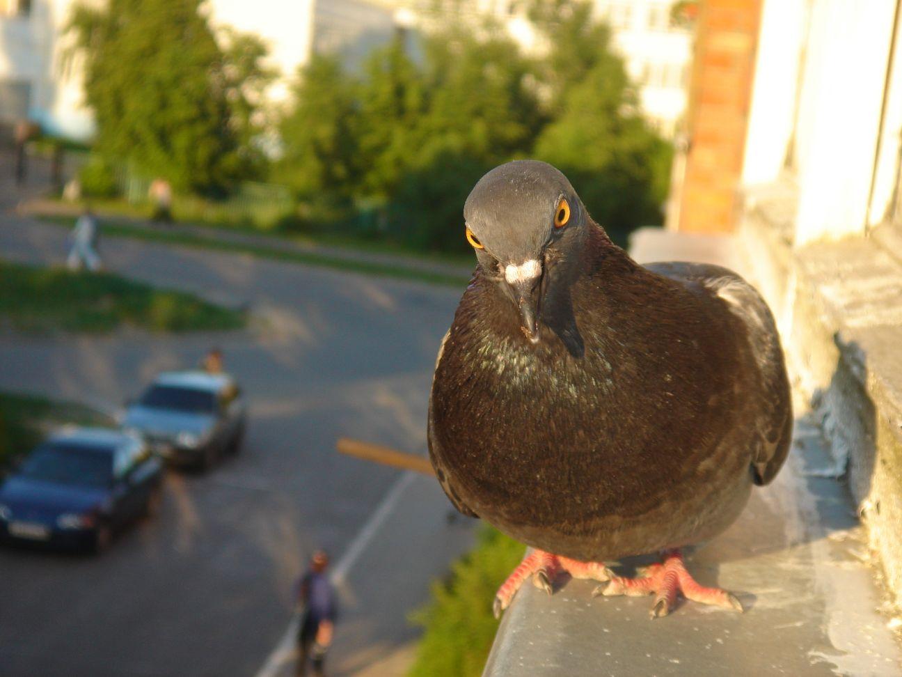 талантливый голубь с глазами спереди фото могут