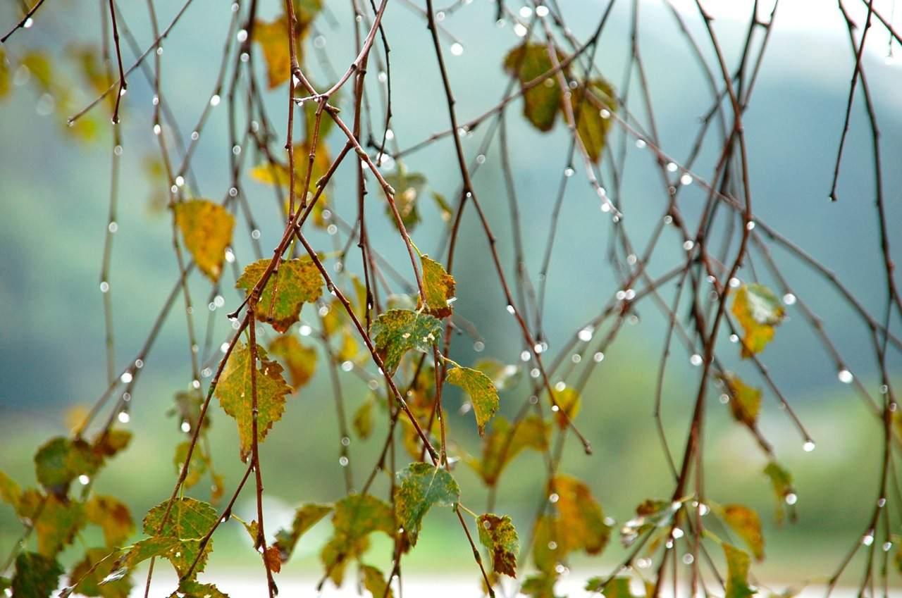 Приму золотой дождь в красноярске 11 фотография