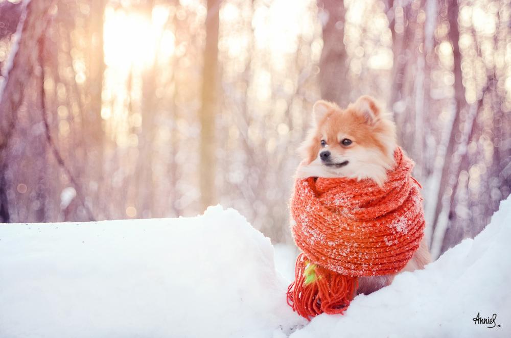 Своими, картинки со шпицем зимой