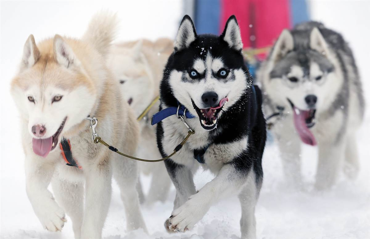 Картинки собак с севера