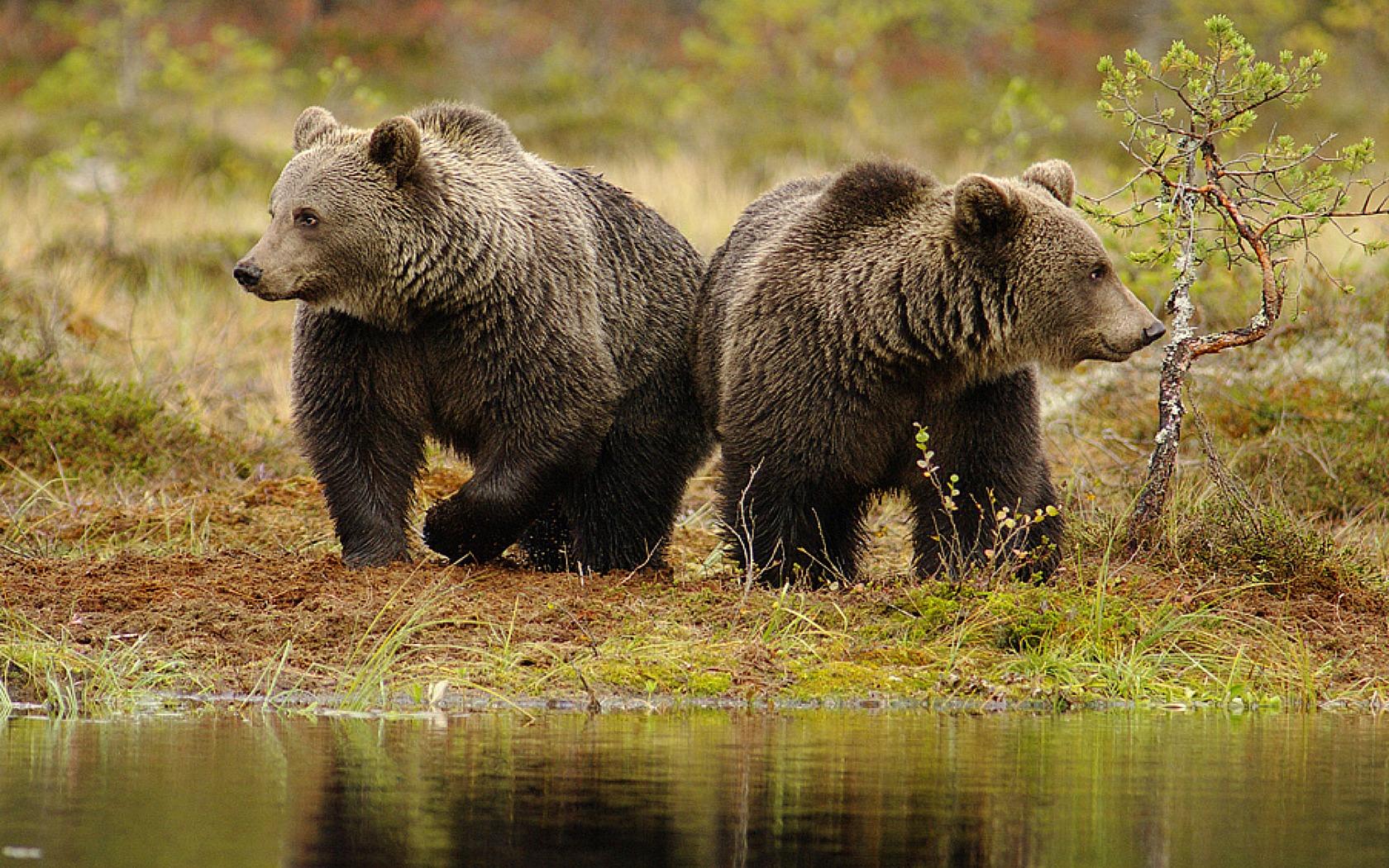 Реально ли нарваться на медведя в Карелии? - ВКонтакте