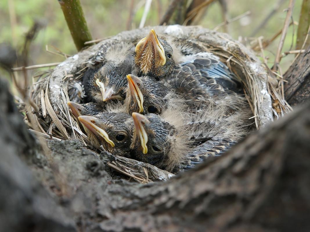 Птенцы диких птиц фото и названия