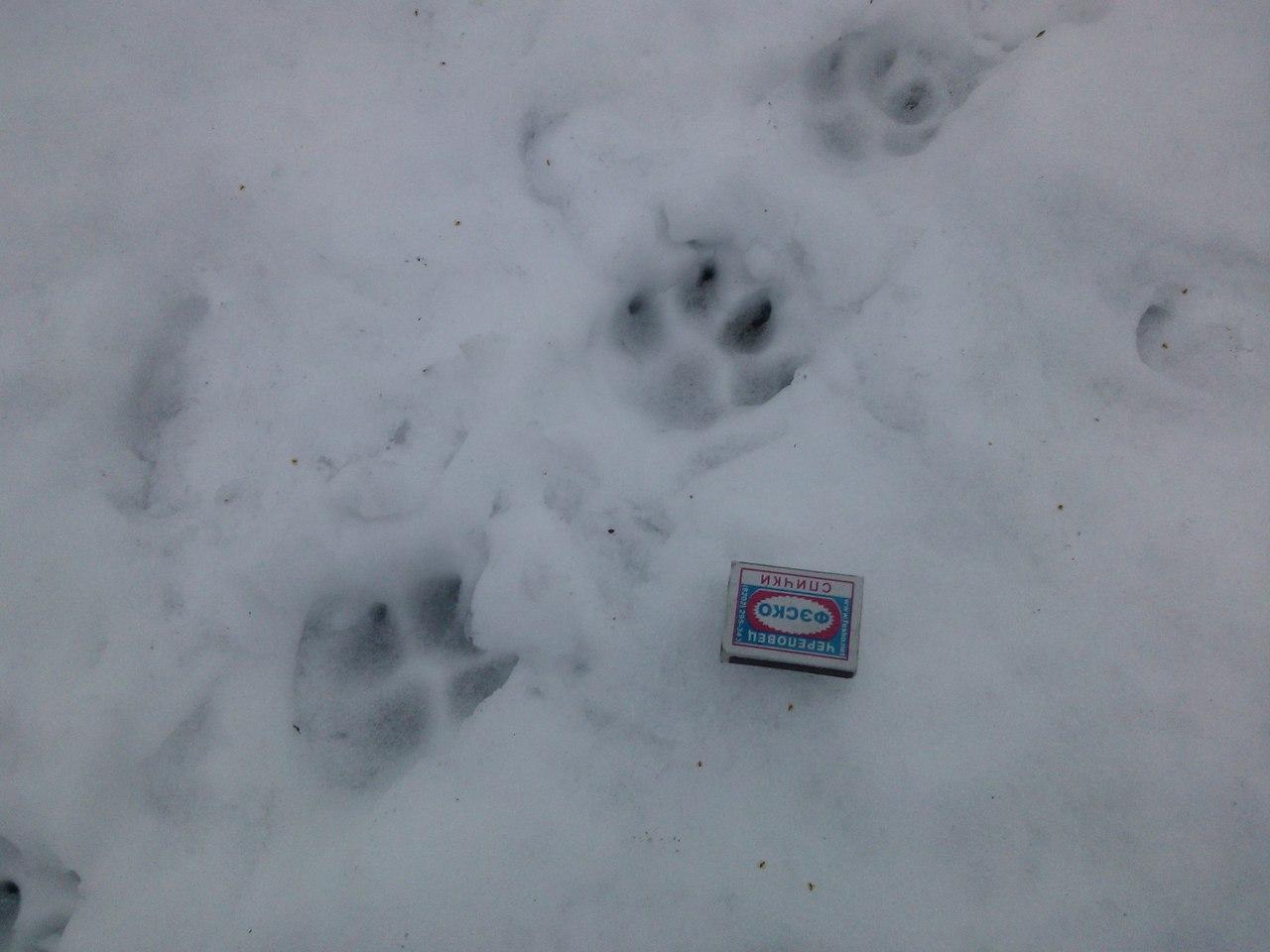 что лучше следы рыси на снегу фото подружки устроили себе