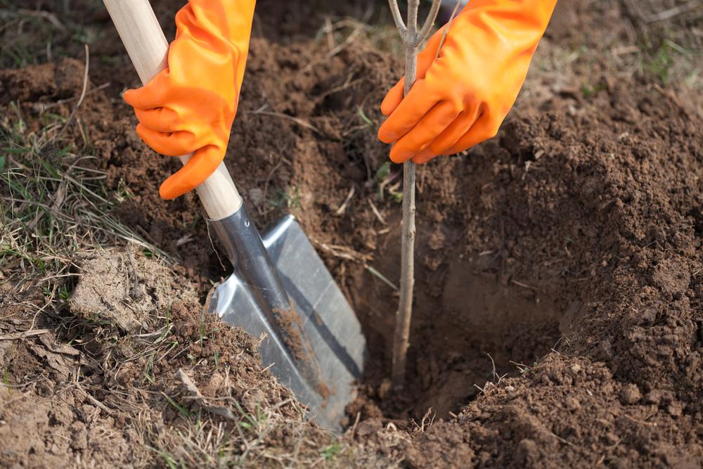 Сажать дерево в землю 573