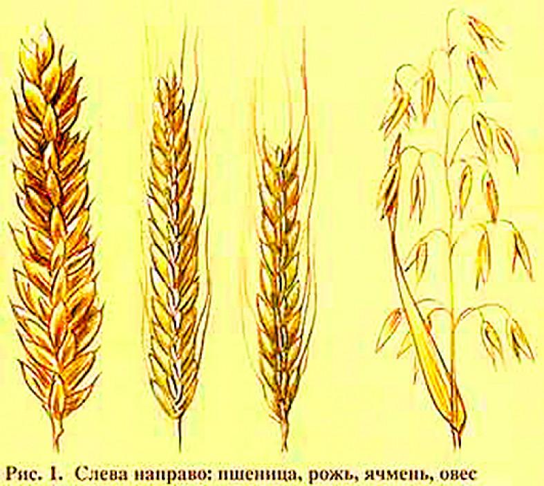 рожь и пшеница фото различия работникам сферы туризма