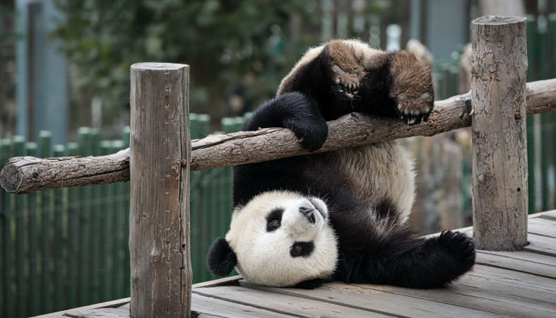 Картинки по запросу панда упала