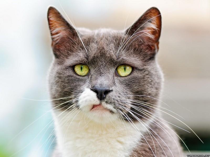 Картинки гордый кот