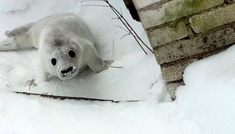 НаГогланде отыскали истощенного 10-дневного тюлененка. Его спасли навертолете