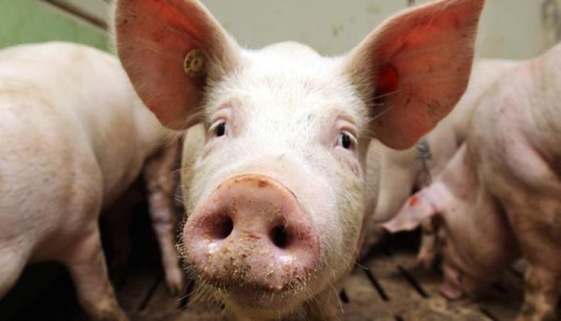 Неменее тысячи свиней изъяли у граждан Иркутского района