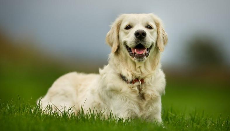 Золотистый ретривер Рио шокировала хозяйку, родив зеленого щенка