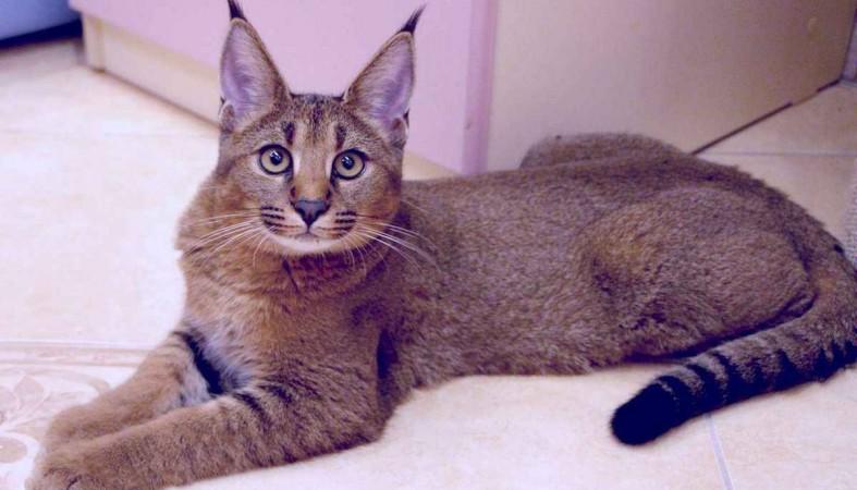 Семья изБарнаула продала авто, чтобы приобрести кошку за млн руб.