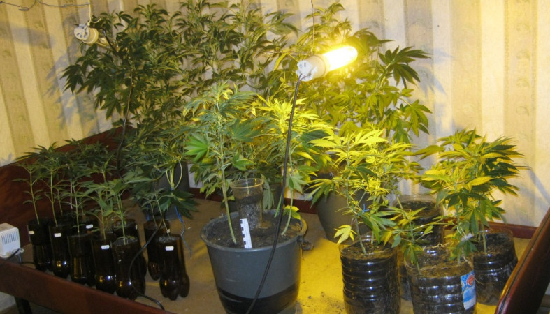 Выращивания конопли онлайн улучшение качеств конопли