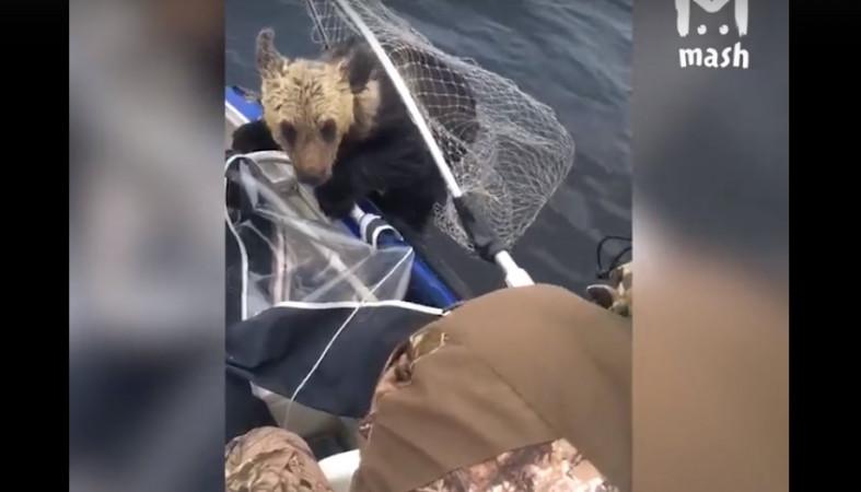 Рыболовы спасли тонущего медвежонка вКарелии