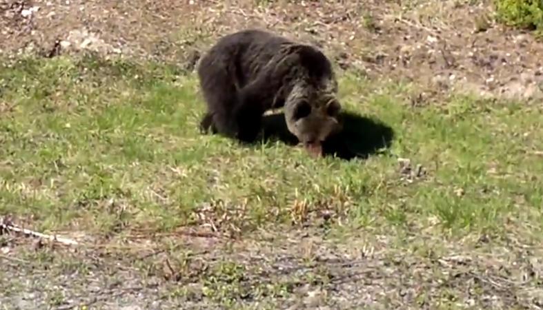 Карельские медведи совсем озверели: Происшествия