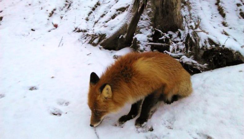 Очаровательный лисенок, гуляющий возле Петрозаводска, может быть смертельно опасен: фото