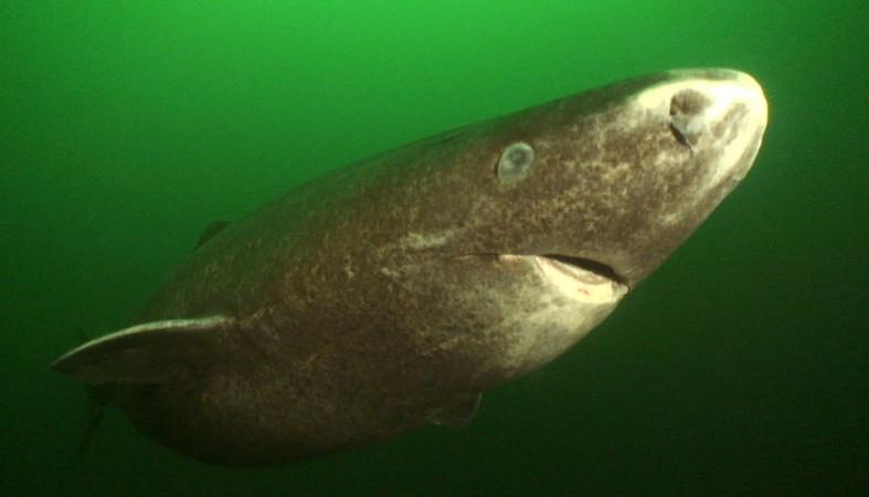 Ученые: Некоторые акулы живут 400 лет