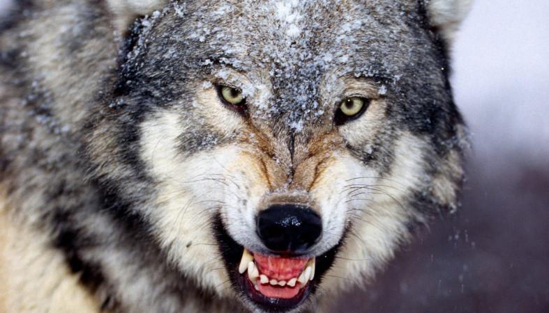 волк фото и картинки