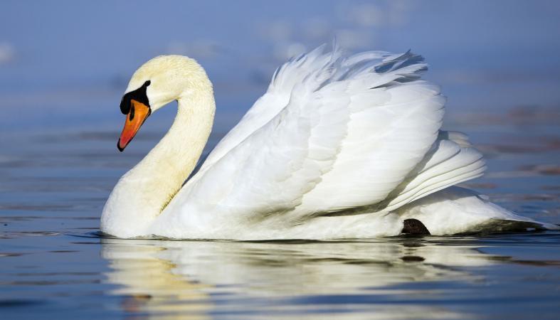 Доброхоты пытаются спасти лебедя, по неизвестной причине оставшегося на зимовку на Шуе