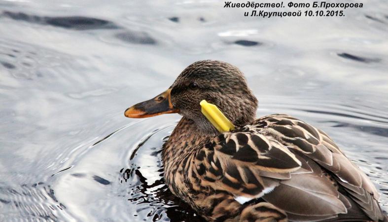 Живодеры обрекают птиц в Карелии на мучительную смерть (фото)
